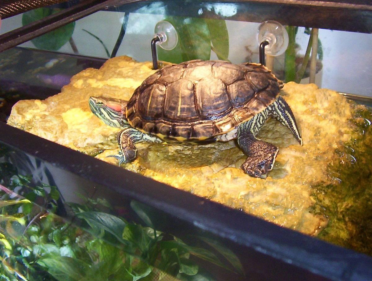Черепаха - виды, питание, уход и содержание, сколько живет, фото