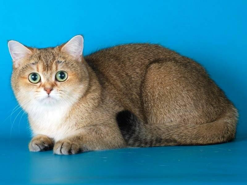 Короткошерстные породы кошек: названия, фото и описание самых популярных