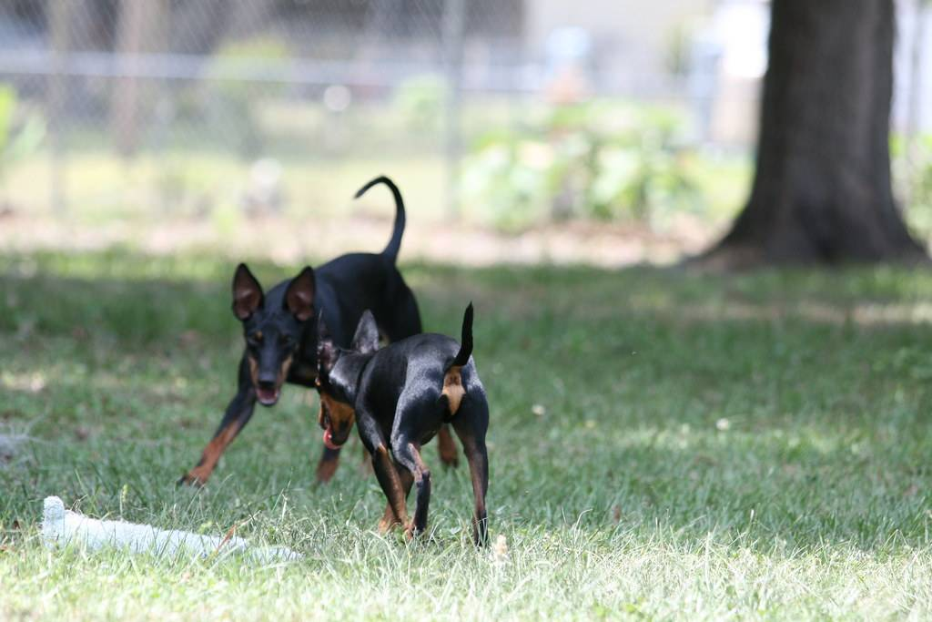 Порода вельштерьер: фото, видео, описание собак и их щенков, характер и советы по уходу