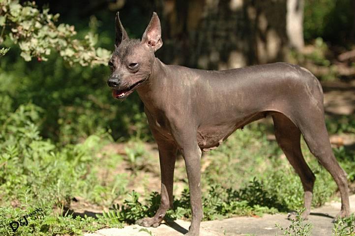 Ксолоитцкуинтли (шолоитцкуинтли) – какая она, мексиканская собака: голая, лысая или хохлатая?