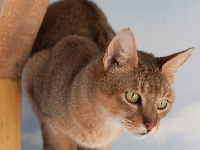 Кошка чаузи: описание породы
