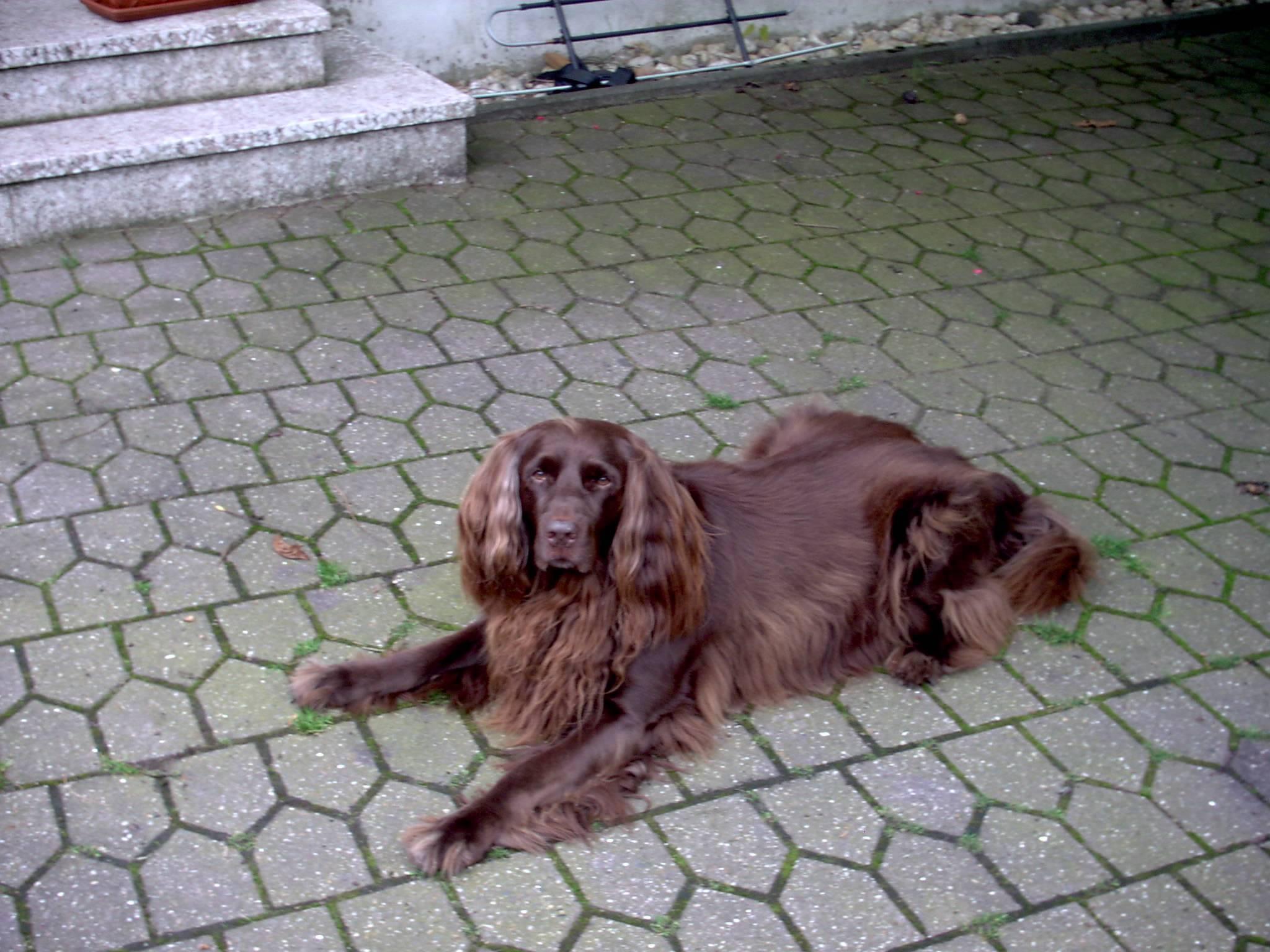 Дратхаар (немецкая жесткошерстная легавая), фото, описание породы, уход, дрессировка, отзывы