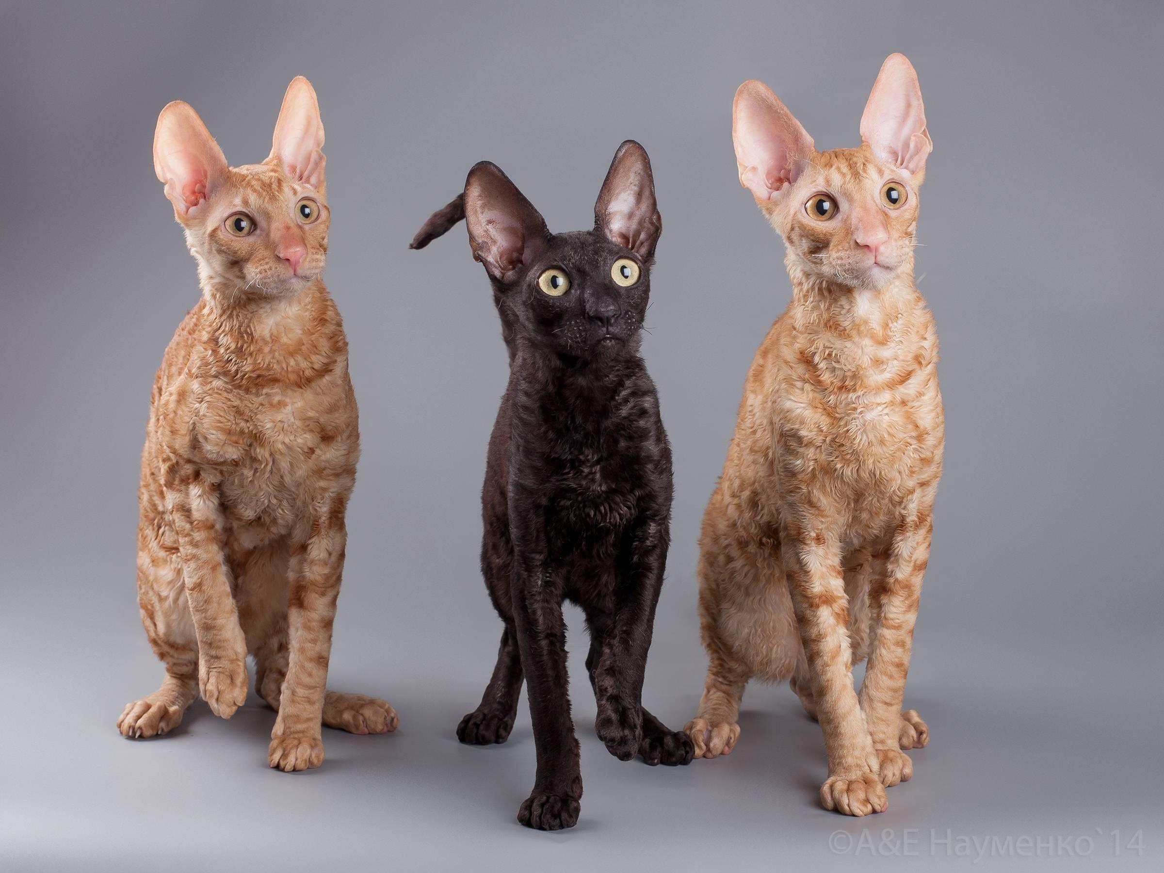 Немецкий рекс: описание породы, характер кошки, советы по содержанию и уходу, фото