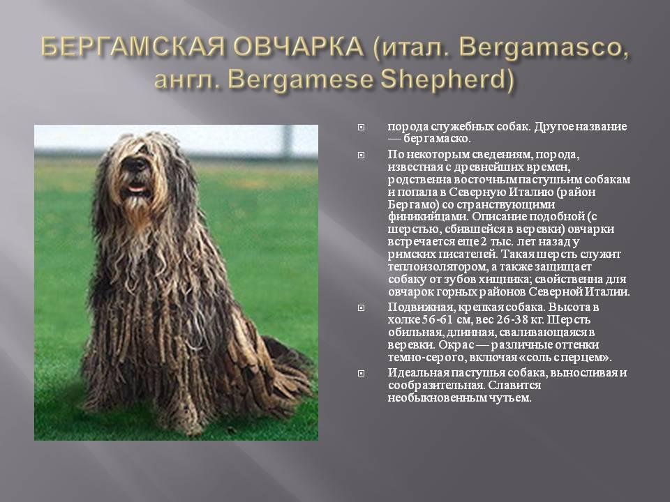 Характеристика собак породы бергамская овчарка с отзывами и фото