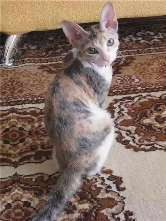 Метис шотландской кошки