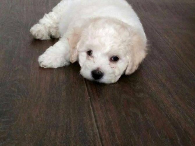 Бишон фризе: описание породы, уход, характер собаки
