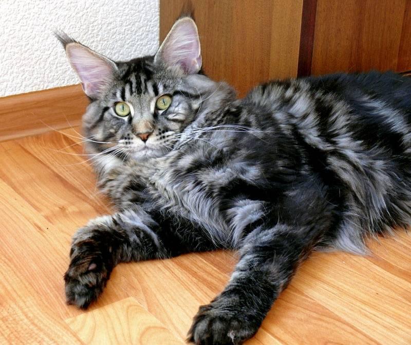 Правильное питание для мейн-кунов: как подобрать рацион кошке этой породы