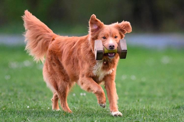 Новошотландский ретривер собака. описание, уход и цена породы | sobakagav.ru