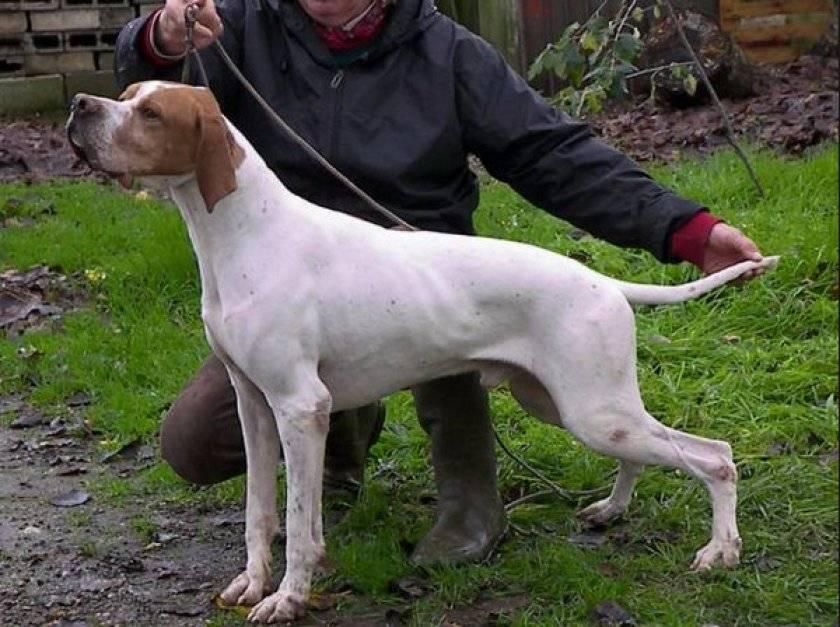 Английский пойнтер – одна из лучших охотничьих пород собак