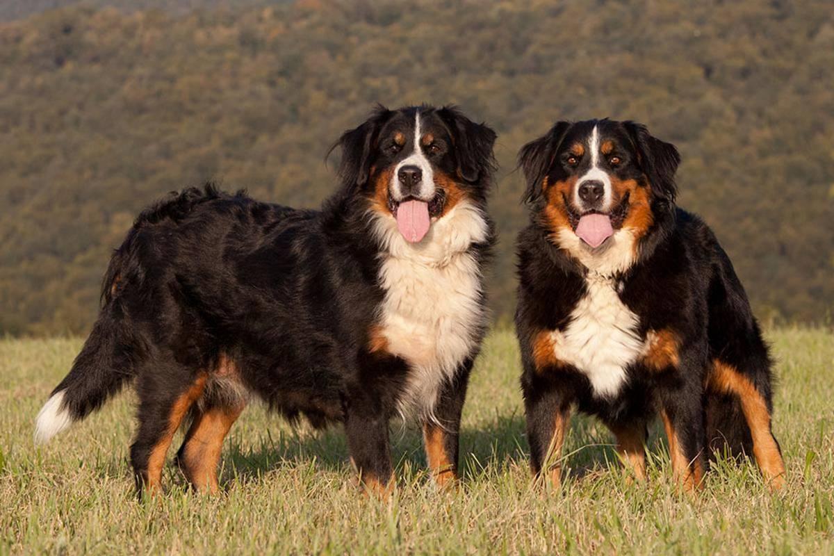 14 самых лучших пастушьих собак: описание каждой из пород, фото и стоимость