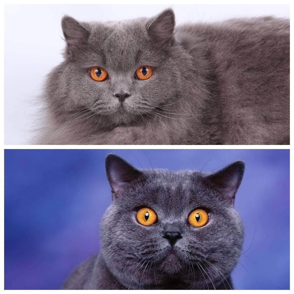 Популярные окрасы британских кошек c фото и описанием