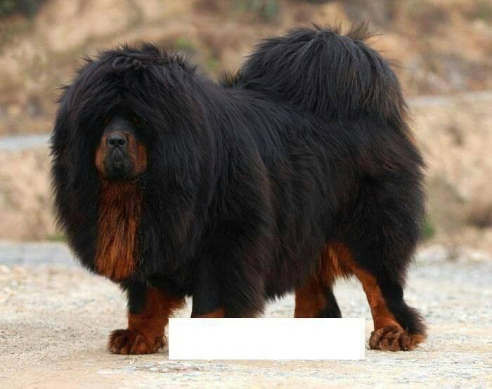 Тибетский мастиф: самая большая собака в мире весом 112 кг, фото пса