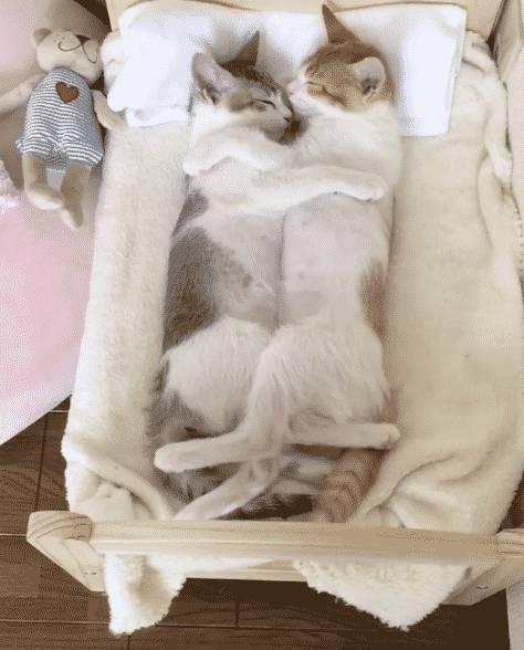 Две кошки в одной квартире, как подружить двух кошек, плюсы и минусы