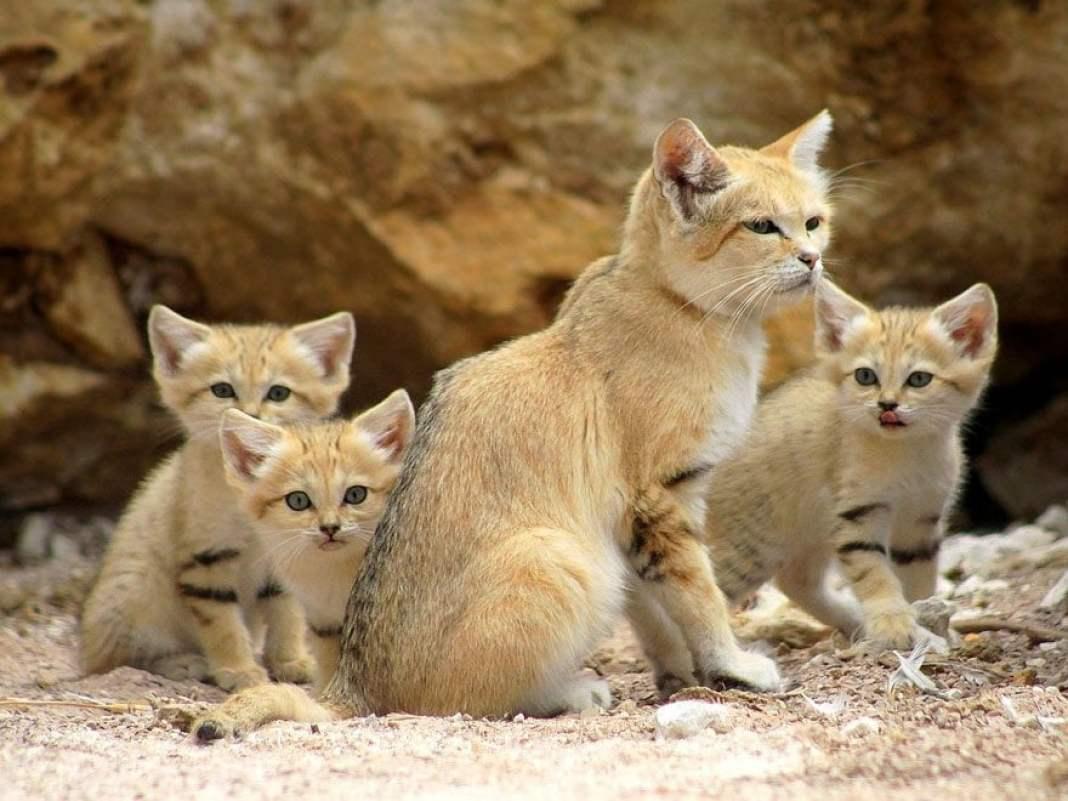 Барханный кот: описание, фото, уход, характер, цена
