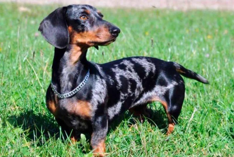 Кроличья такса собака. описание, особенности, уход и цена кроличьей таксы