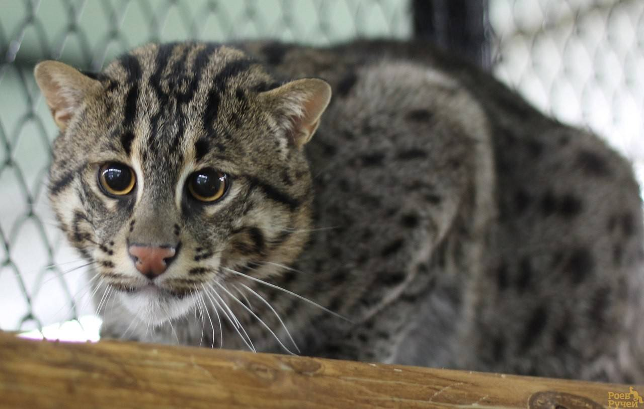 Виверровый кот-рыболов — жизнь на воле и в неволе