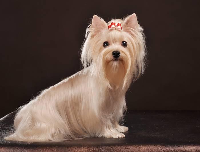 Русская салонная собака: стандарт породы, описание и темперамент