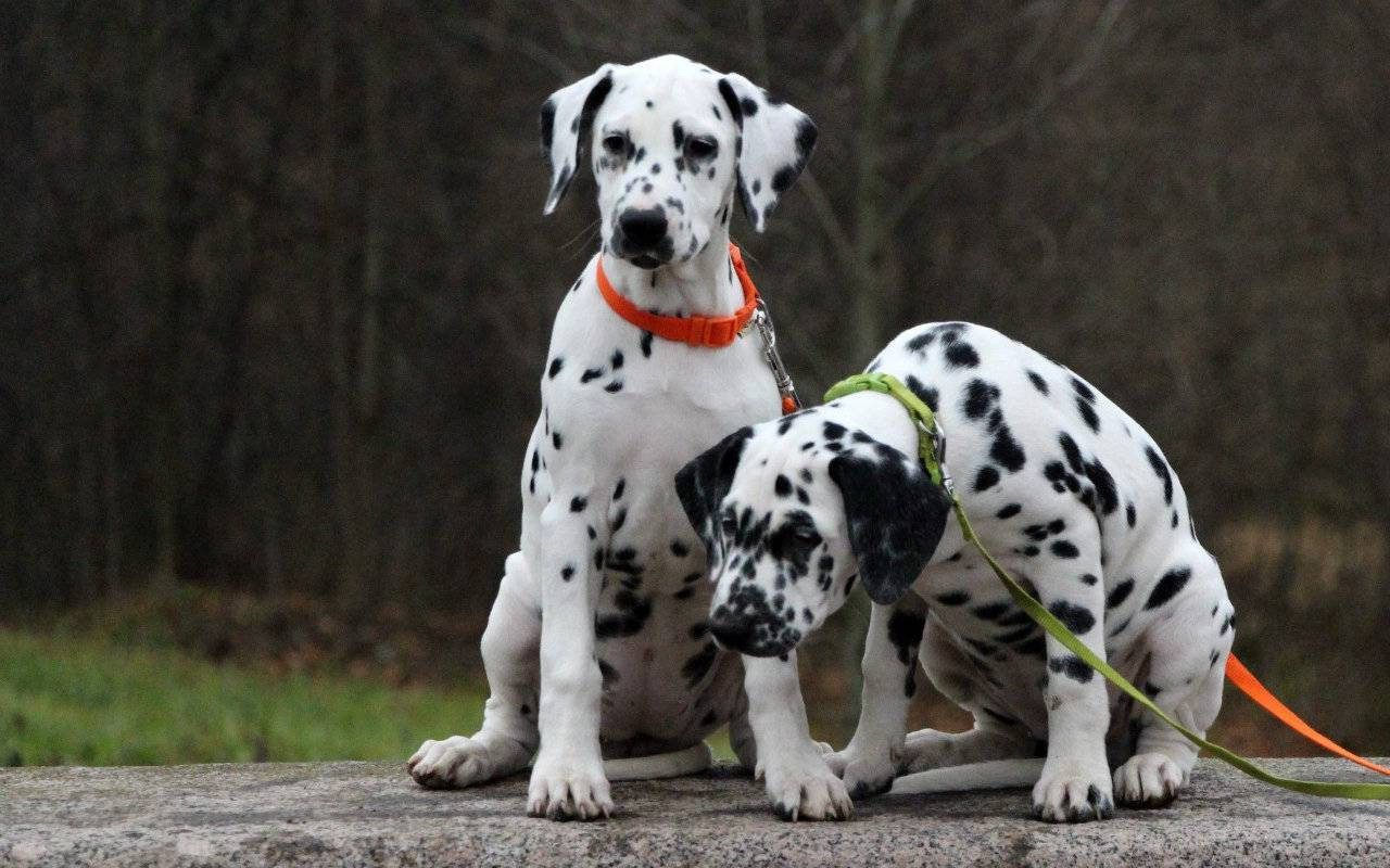 Далматин - порода собак - информация и особенностях | хиллс