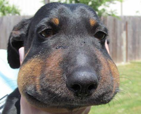Укусила собака, что делать? осложнения травмы, бешенство, симптомы, лечение, последствия, первая помощь.  прививки после укуса собаки детям.