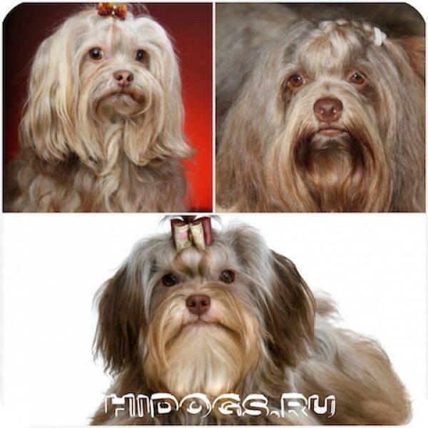 Русская цветная болонка: фото и описание породы собак русская цветная болонка: фото и описание породы собак