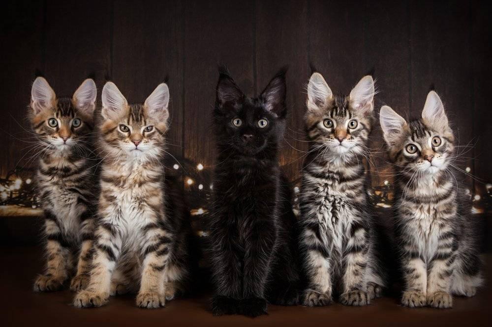 Популярные породы кошек: рейтинг gfa с описанием внешности и характера