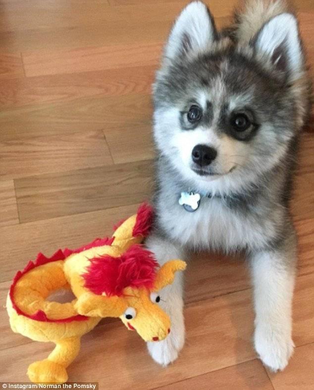 Помски — смесь шпица и хаски: стандарт породы, внешний вид собаки с фото, особенности ухода