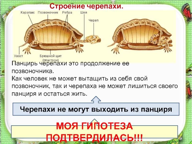 Всегда ли у черепахи был панцирь!? - это интересно! - страна мам