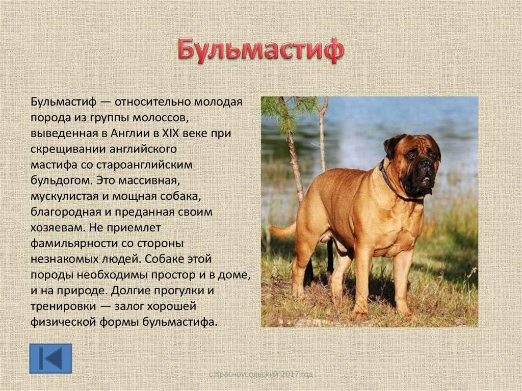 Английский мастиф: характеристика породы собак