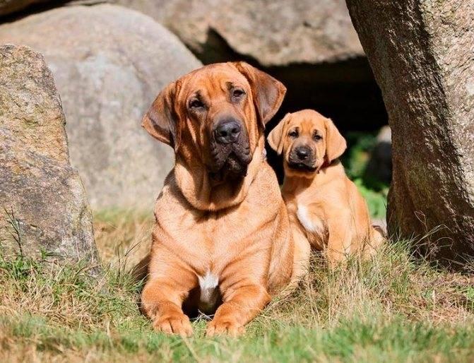 Особенности содержания золотого ретривера: описание породы и правила ухода за собаками