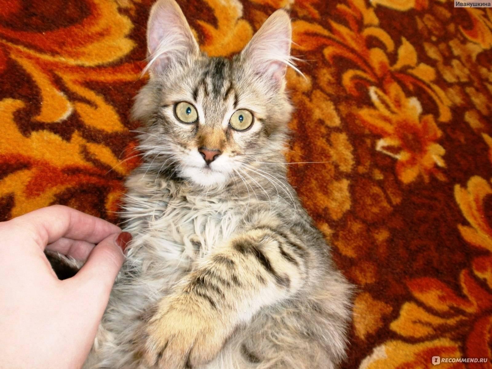 Беспородные коты (32 фото): характер кошек без породы, продолжительность их жизни в домашних условиях. содержание котят