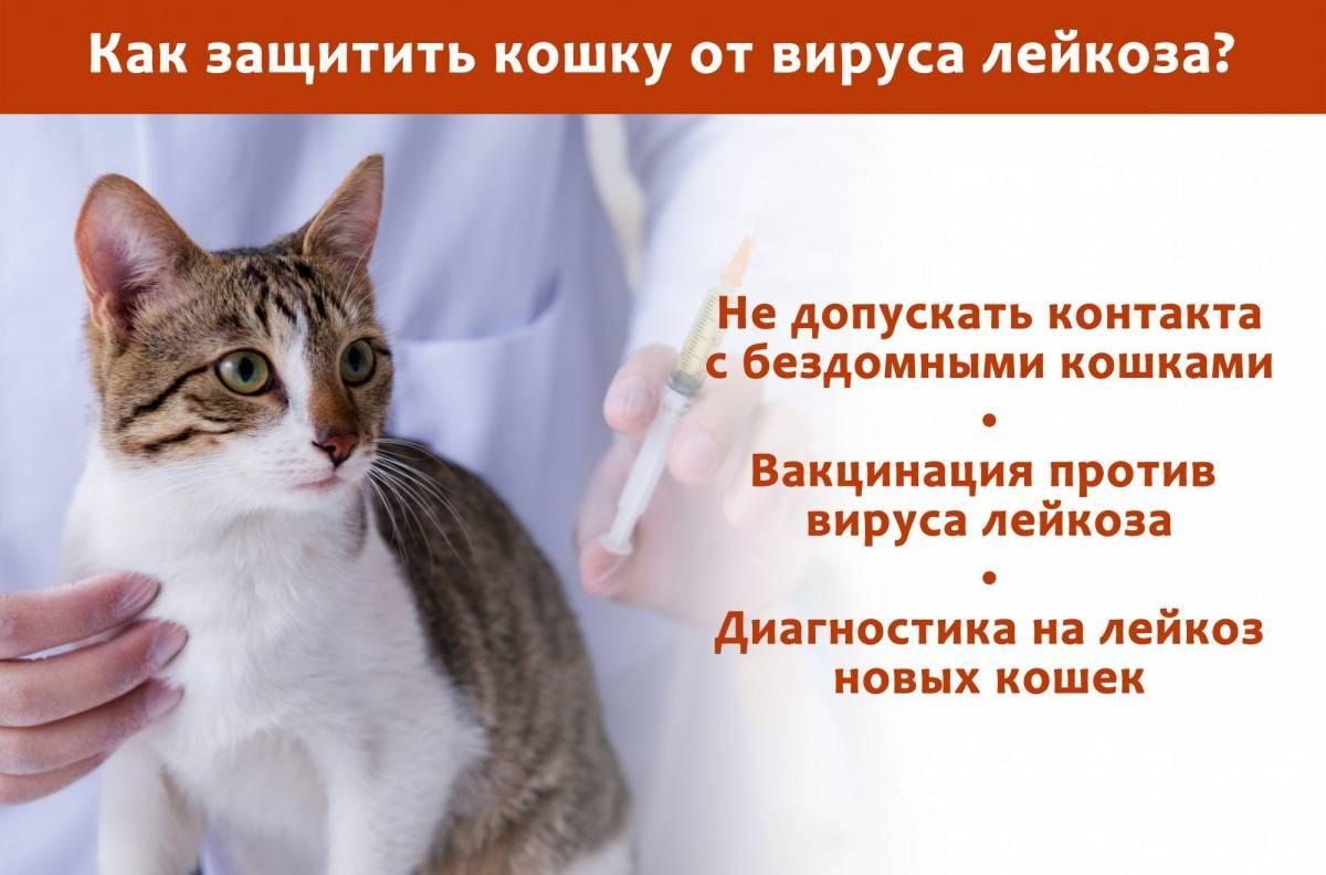 Лейкоз у кошек: симптомы, пути заражения и лечение вирусной лейкемии