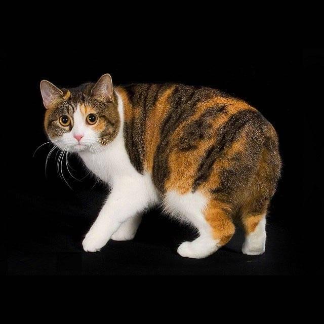 Мэнкс (мэнская кошка): описание породы и характера, фото