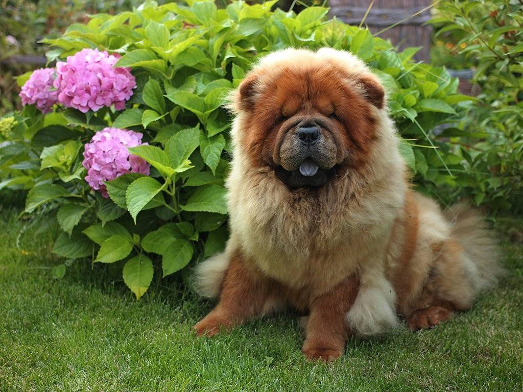 Чау-чау — собака не для каждого, характеристика, описание породы, интеллект