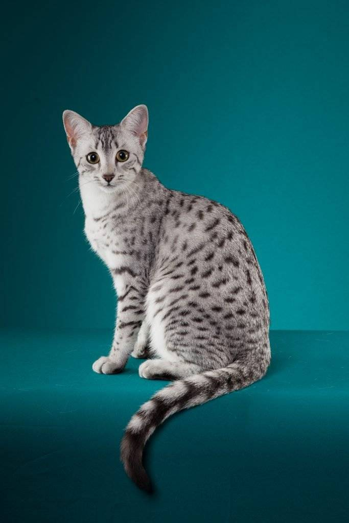 Египетский мау (egyptian mau) кошка: подробное описание, фото, купить, видео, цена, содержание дома