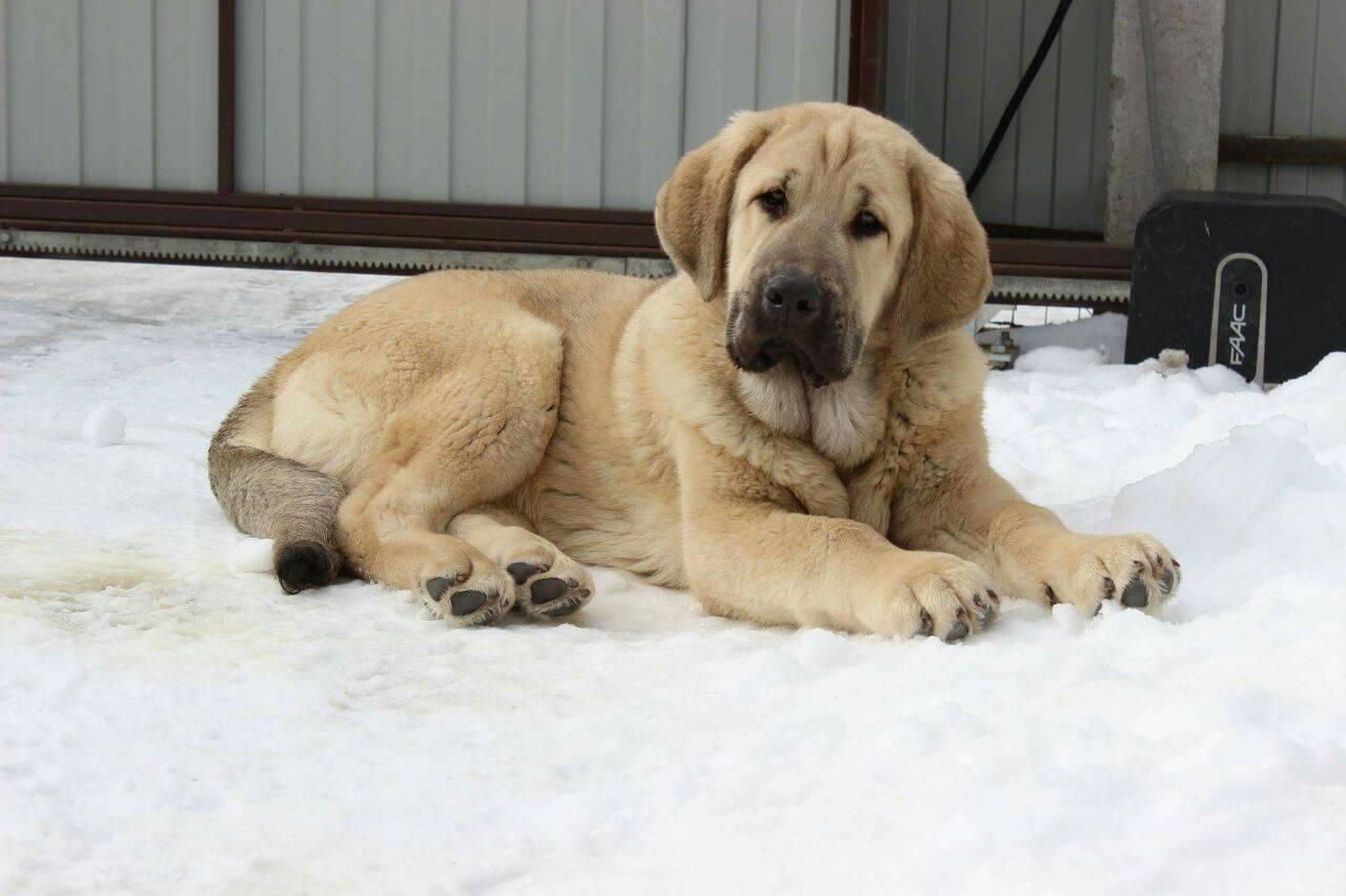 Тибетский мастиф собака. описание, особенности, уход и цена тибетского мастифа | sobakagav.ru
