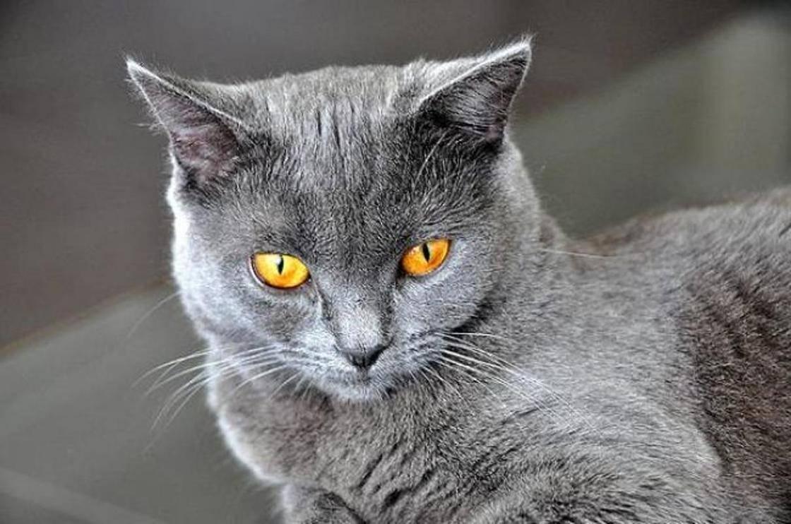 Картезианская кошка (шартрез): описание породы, фото, характер, правила содержания, продолжительность жизни, цена котят + отзывы