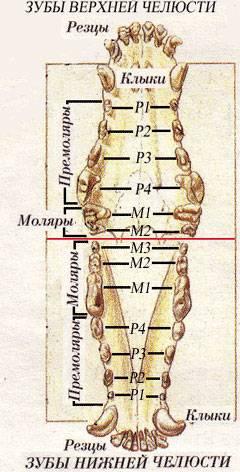 Смена зубов у щенков: симптомы и схема смены зубов у щенков, возможные осложнения, кормление, уход за зубами, породные особенности смены зубов