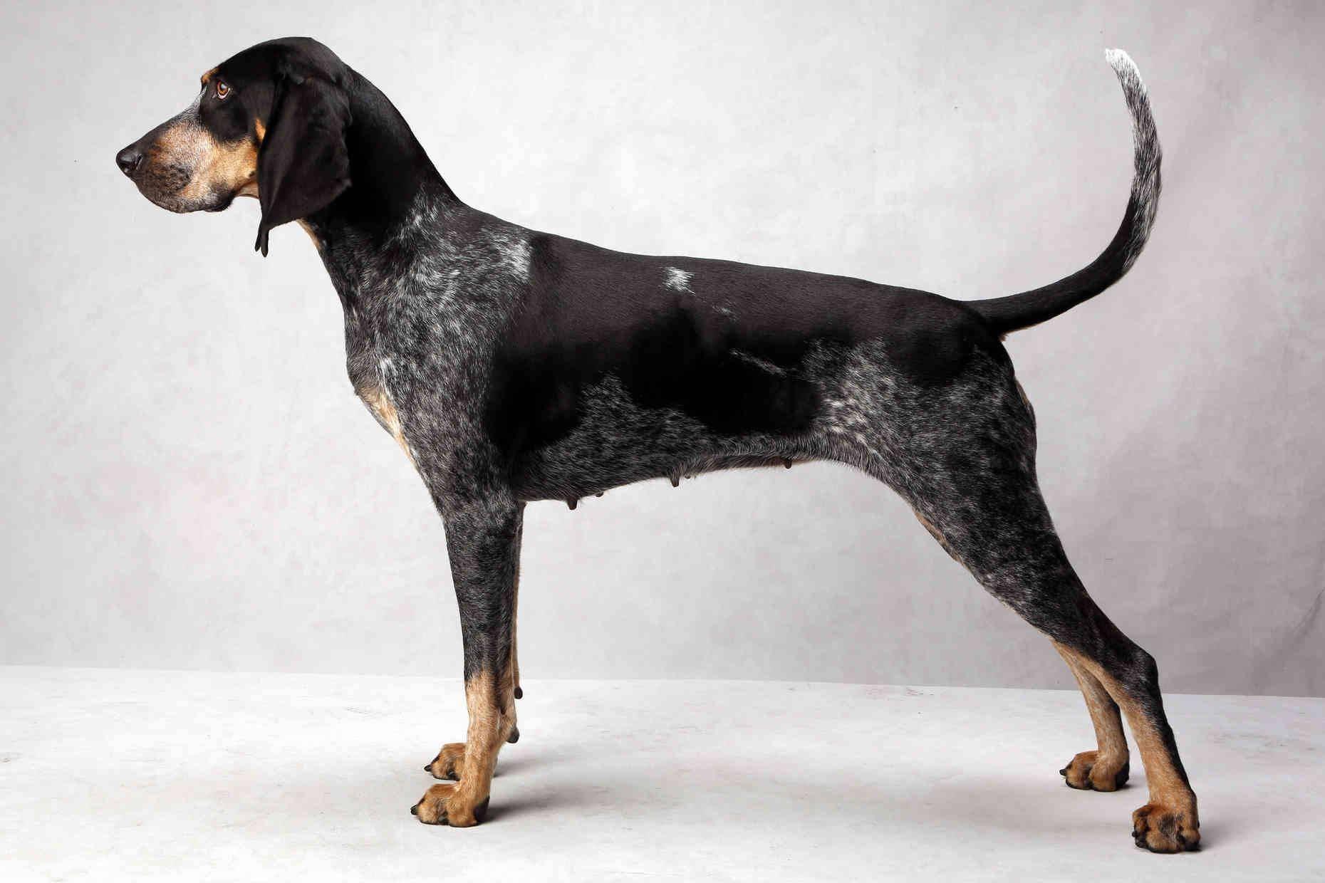 Кунхаунд (енотовая собака): описание породы собак, цена