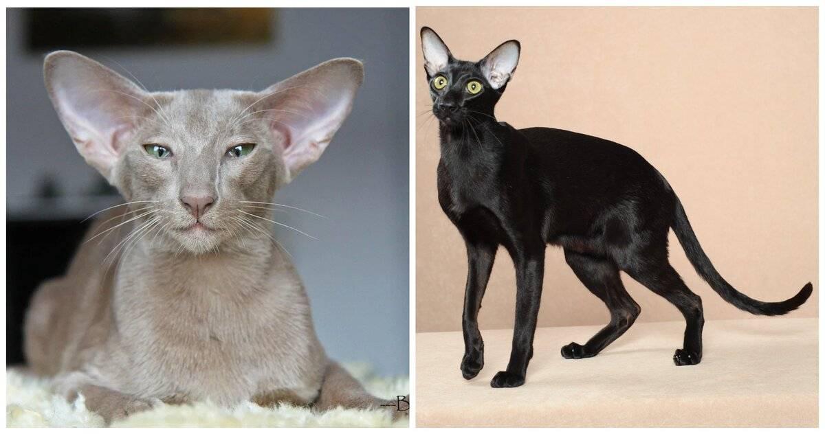 Ориентальная кошка: описание породы, содержание и уход, фото, выбор котенка, разведение ориенталов, отзывы владельцев