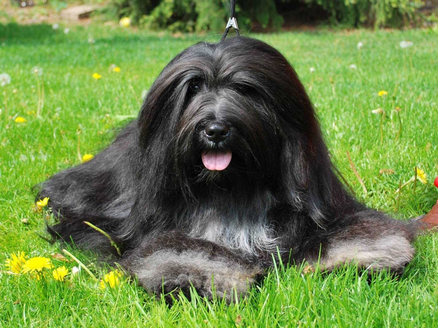 Порода собак тибетский терьер: фото, видео, описание породы и характер