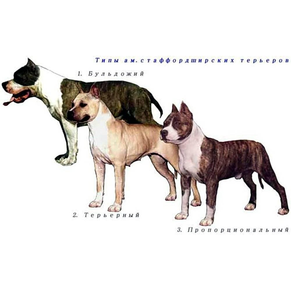 Стаффордширский терьер — порода собак американский стафф терьер для дома с детьми