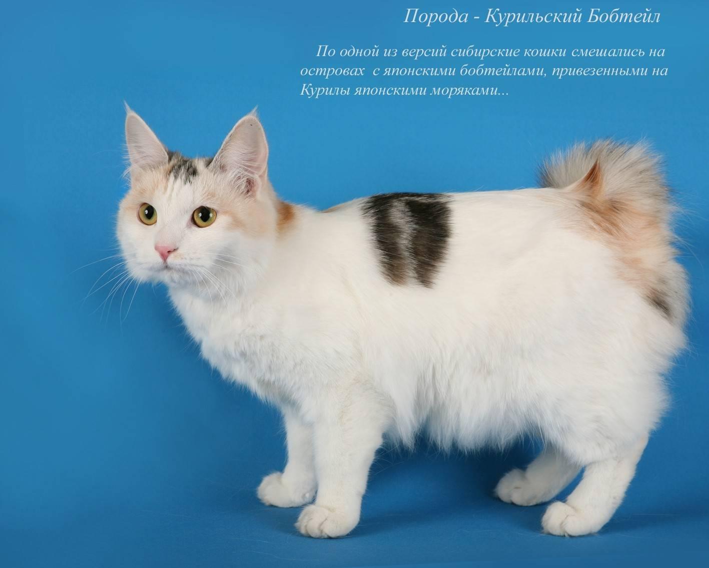 Описание, характер, кормление и разведение кошек японский бобтейл