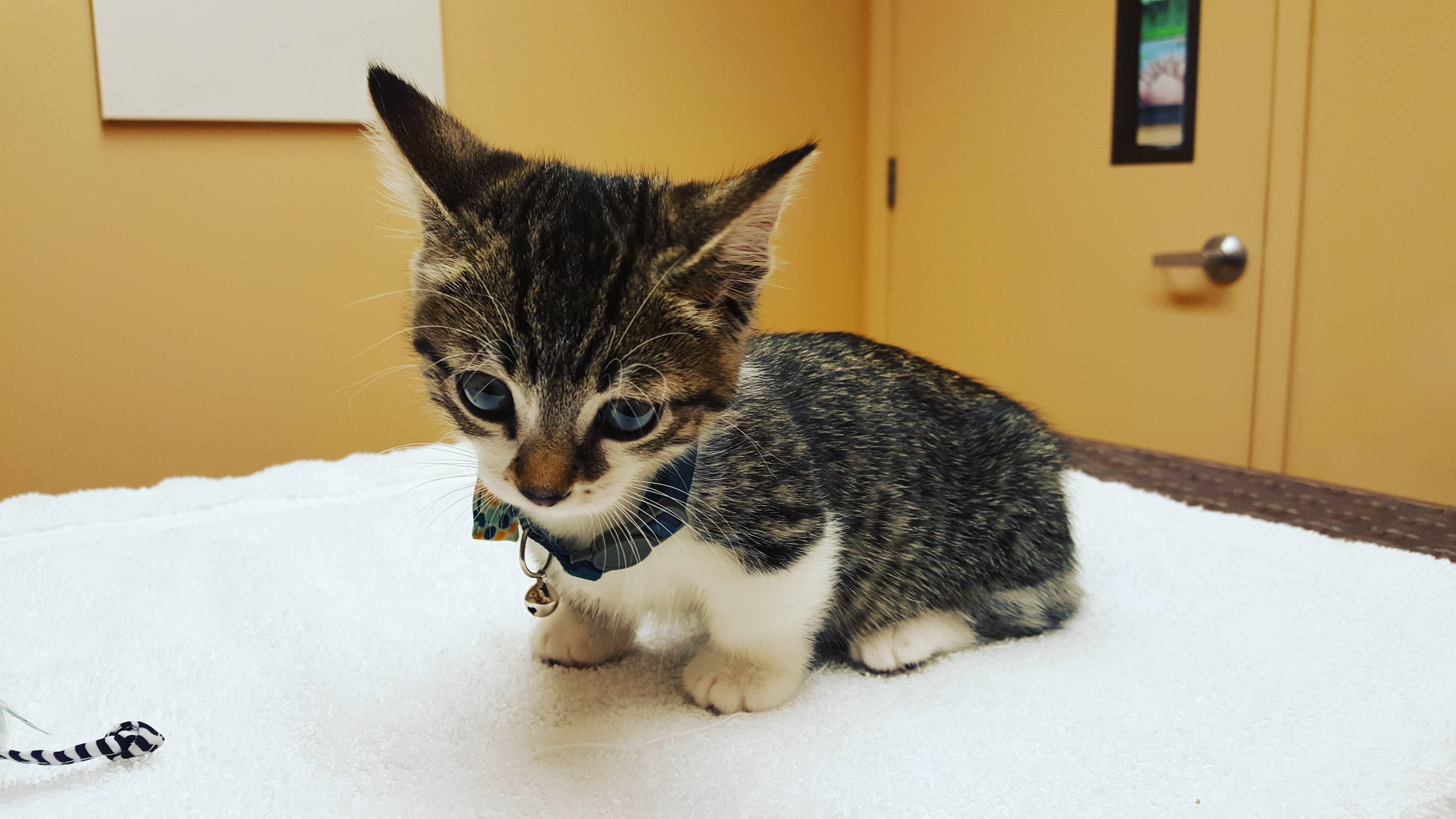 Популярные карликовые породы кошек