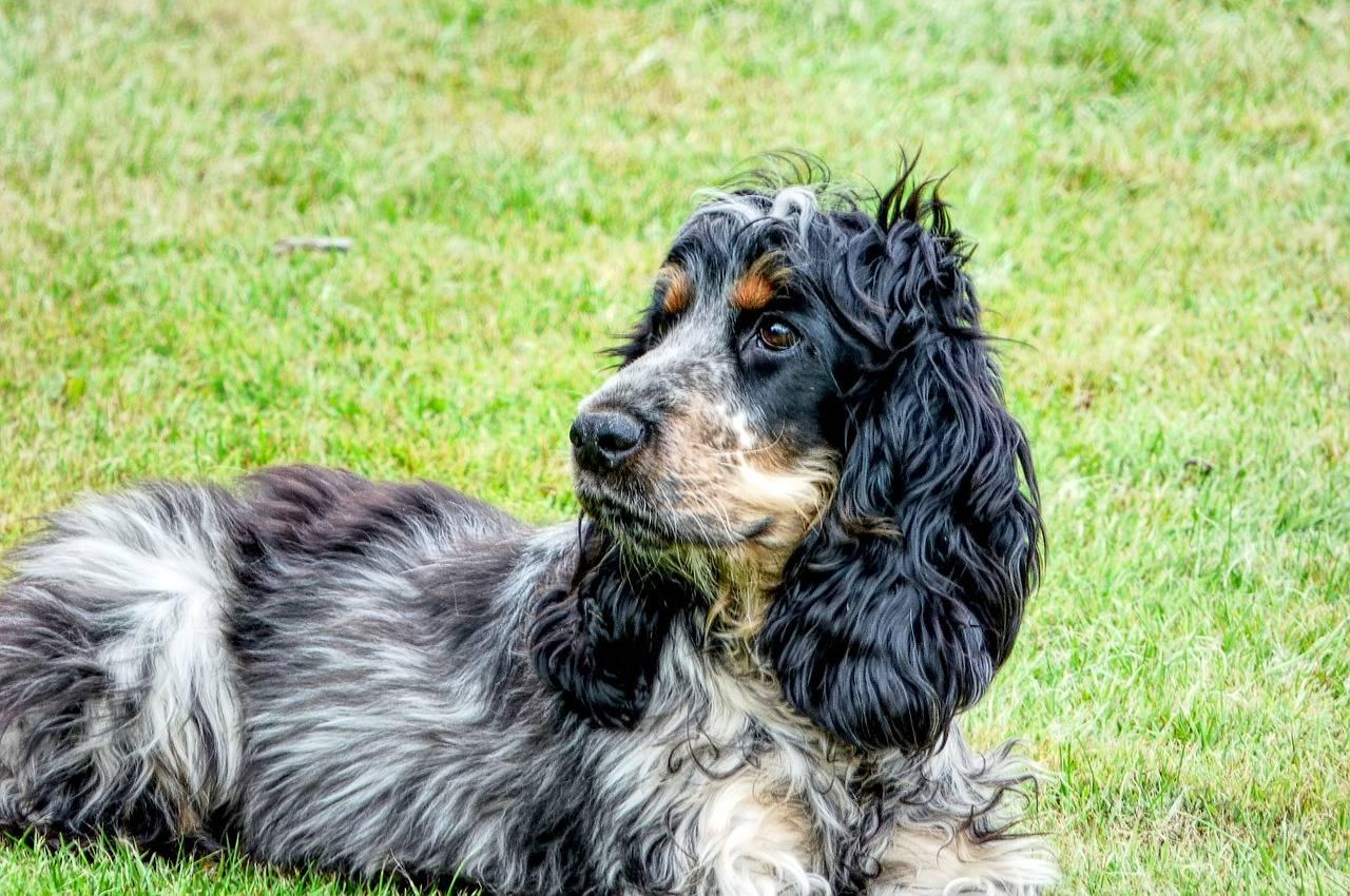 Русский охотничий спаниель- все о собаке, фото, видео, цены, отзывы, содержание, характер, стандарты, окрас, дрессировка