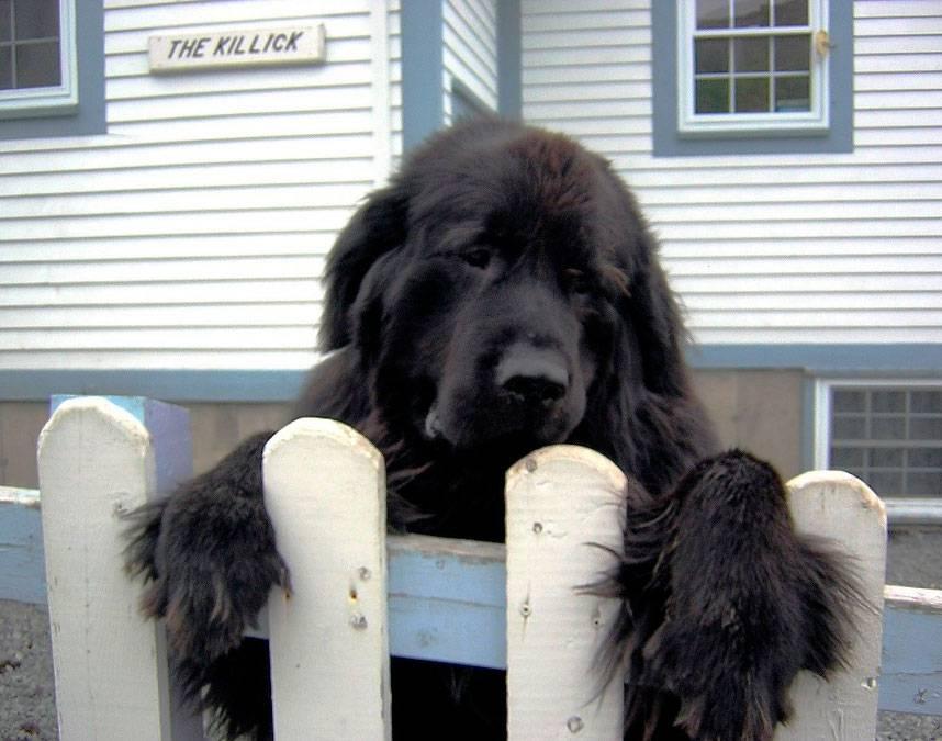 Ньюфаундленд — характеристика породы (с фото) | все о собаках