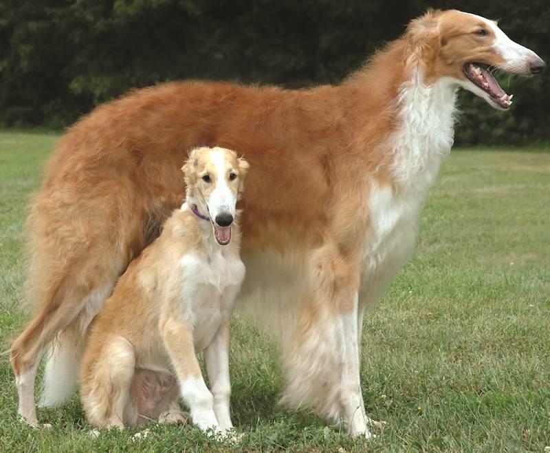 Охотничьи собаки - все виды собак и их описание