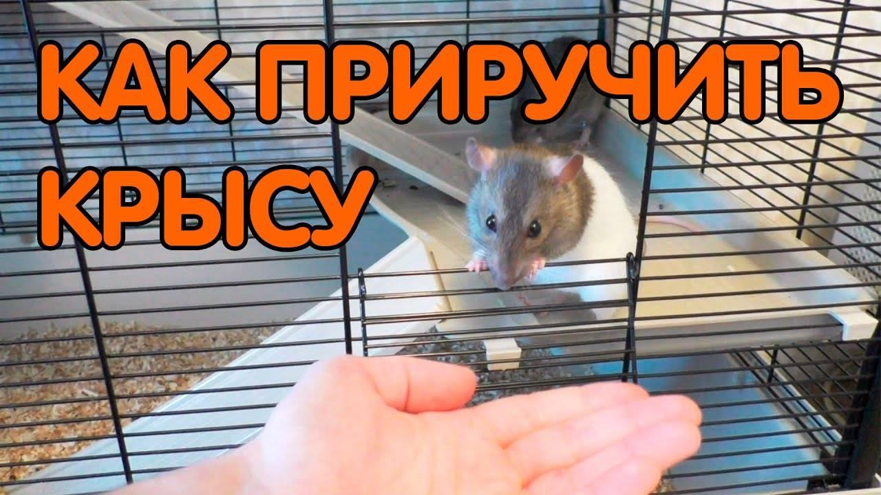 [новое исследование] как отучить домашнюю крысу кусаться и почему она кусается: инструкция