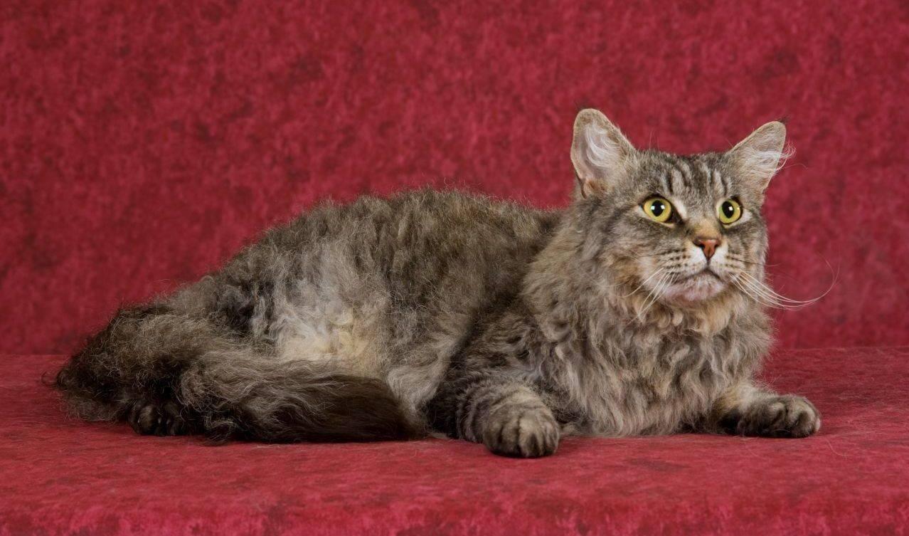 Лаперм кошка. описание, особенности, уход и цена кошки лаперм   животный мир