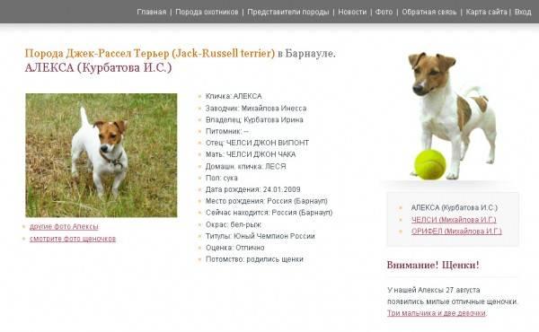 Джек-рассел-терьер - порода собак - информация и особенностях | хиллс
