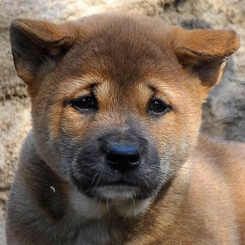 Собака новогвинейская поющая википедия